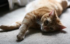 Обои кот, рыжий, котенок, cat, ковер, макро, лежит