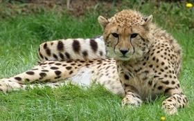 Картинка кошка, трава, отдых, гепард