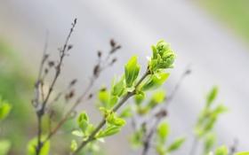 Картинка зелень, листья, ветки, ветка, Весна, размытость, листочки
