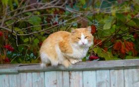 Картинка осень, сидит, Кошка, забор, рыжий, cat, равновесие