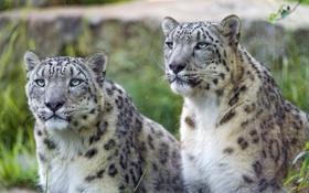 Обои взгляд, кошки, пара, ирбис, снежный барс, ©Tambako The Jaguar
