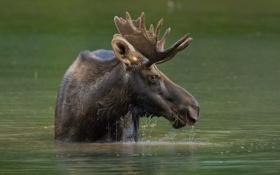 Картинка вода, голова, рога, лось