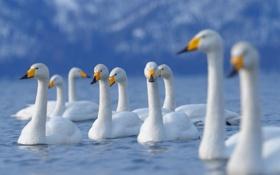 Обои желтый, лебеди, красивые, символ верности