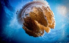 Обои море, рыбы, Индонезия, Медуза, Thysanostoma thysanura