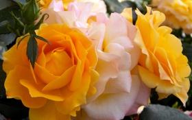 Обои фото, Макро, Цветы, Розы