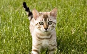 Картинка кошка, трава, кот, котенок, киска, киса, cat