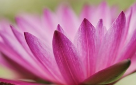 Обои природа, цветок, лотос, лепестки