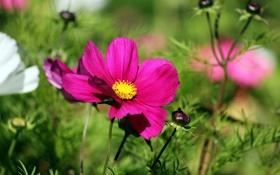 Обои зелень, белый, цветы, яркий, розовый, бутоны, космея