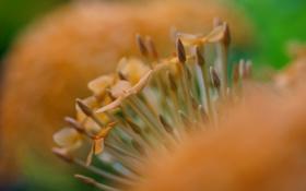 Картинка макро, цветок, бутоны, оранжевый, размытость