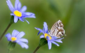 Обои бабочка, фон, цветы