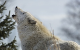 Обои морда, хищник, вой, белый волк