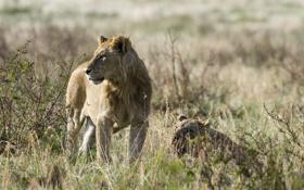 Обои взгляд, отдых, лев, львы