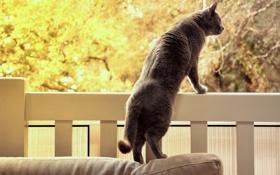 Картинка кошка, кот, природа, фон, перила, серая, стоит