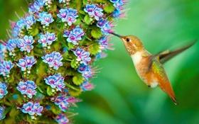 Обои птица, цветок, колибри