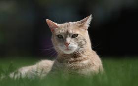 Обои трава, кот, рыжий, лежит
