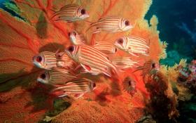 Обои рыбы, белка, beautiful, коралловый, coral, squirrel fish, море фана