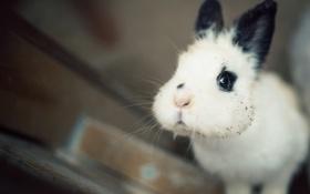 Обои кролик, мордашка, щёки