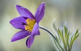 Обои растение, цветок, сон трава, сиреневый, макро