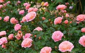Картинка розы, бутоны, кусты