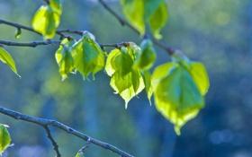 Картинка листья, весна, зеленый, ветка