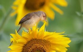 Картинка фон, птица, подсолнух
