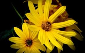 Обои цветы, желтый, черная