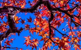 Картинка осень, листья, ветки, дерево, краски, багрянец