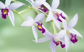 Картинка цветение, цветок, бело-розовая, орхидея, лепестки