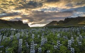 Обои цветы, горы, луг, Исландия, Iceland, люпины, Вик