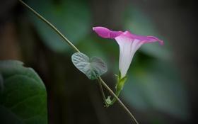 Картинка цветок, розовая, лоза, вьюнок, ипомея