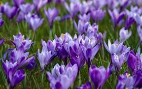 Обои фиолетовый, весна, шафран, крокусы