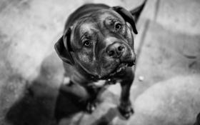 Картинка взгляд, собака, пес, dog, Tyson