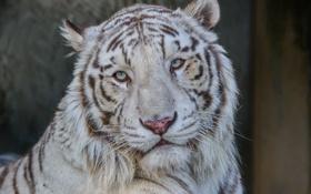 Обои морда, портрет, хищник, белый тигр, дикая кошка