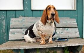 Картинка собака, скамья, Basset