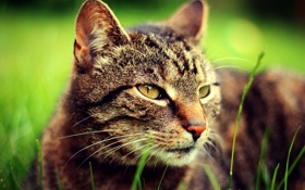 Картинка зелень, кошка, трава, глаза, кот, взгляд, морда
