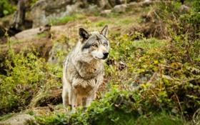 Обои взгляд, животное, волк, хищник