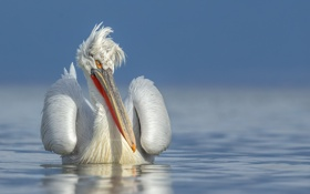 Обои природа, птица, пеликан