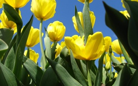 Обои зелень, небо, весна, тюльпаны
