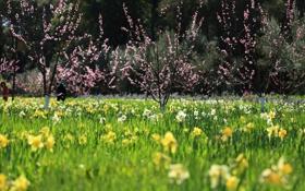 Обои деревья, цветы, весна, вишни, цветущие, нарциссы