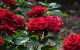 Картинка розы, кустарник, цветы, куст