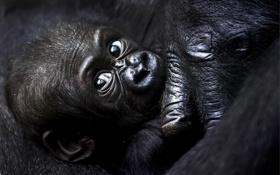 Обои взгляд, чёрный, горилла, детёныш, gorilla, малышь