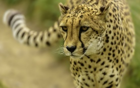Картинка кошка, хищник, гепард, дикая