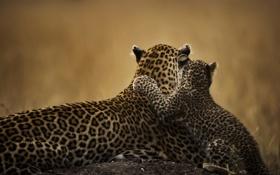Обои кошки, детеныш, мама, леопарды