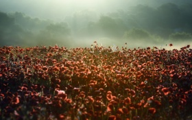 Картинка поле, природа, маки, утро