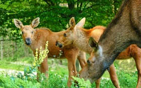Картинка трава, семья, семейство, лоси, детёныши, лосята