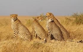Картинка кошки, семейство, трава, гепарды, семья