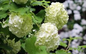 Обои цветы, ветки, куст, белые, соцветия, гортензия