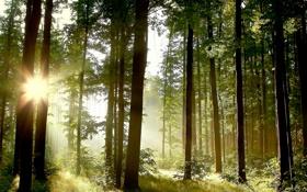 Обои лес, солнце, деревья, Природа