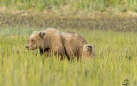 Обои медвежонок, луг, медведица, медведи, трава