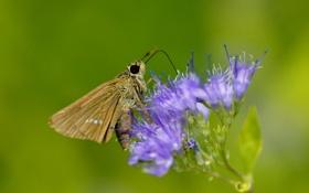 Обои цветок, макро, бабочка, насекомое, полевой